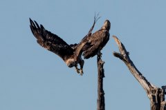 Stein--&-Seeadler / Golden Eagle and White tailed Eagle