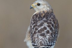 Rotschulterbussard / Buteo lineatus / Red shouldred Hawk