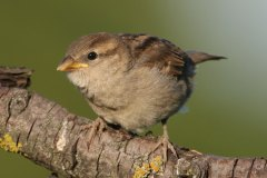 Haussperling / Passer domesticus / House Sparrow