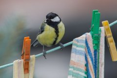 Kohlmeise / Parus major / Great Tit