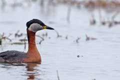 Rothalstaucher / Podiceps grisegena / Red-necked grebe