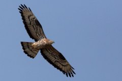 Wespenbussard / Pernis apivorus / Honey Buzzard