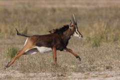 Rappenantilope / Hippotragus niger / Sable antelope