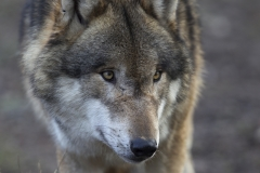 Wolf / Canis lupus / Gray wolf