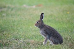 Schneehase / Mountain hare
