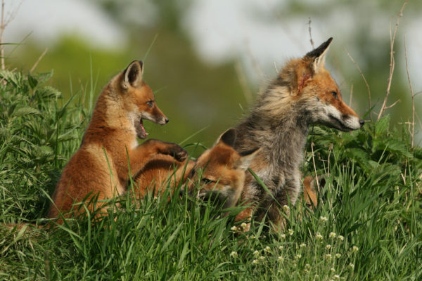 Rotfuchs / Vulpes vulpes / Red Fox