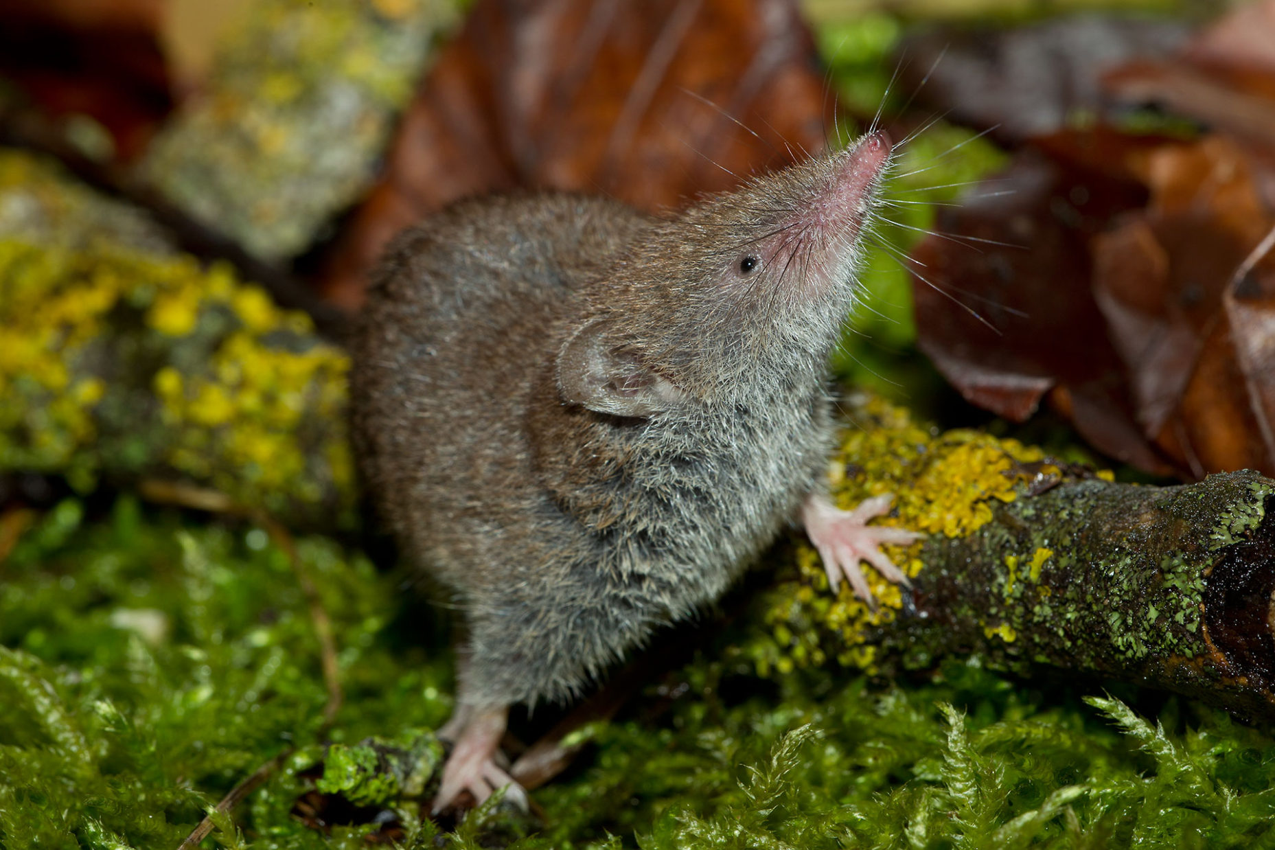 Hausspitzmaus / Crocidura russula / Greater white-toothed shrew