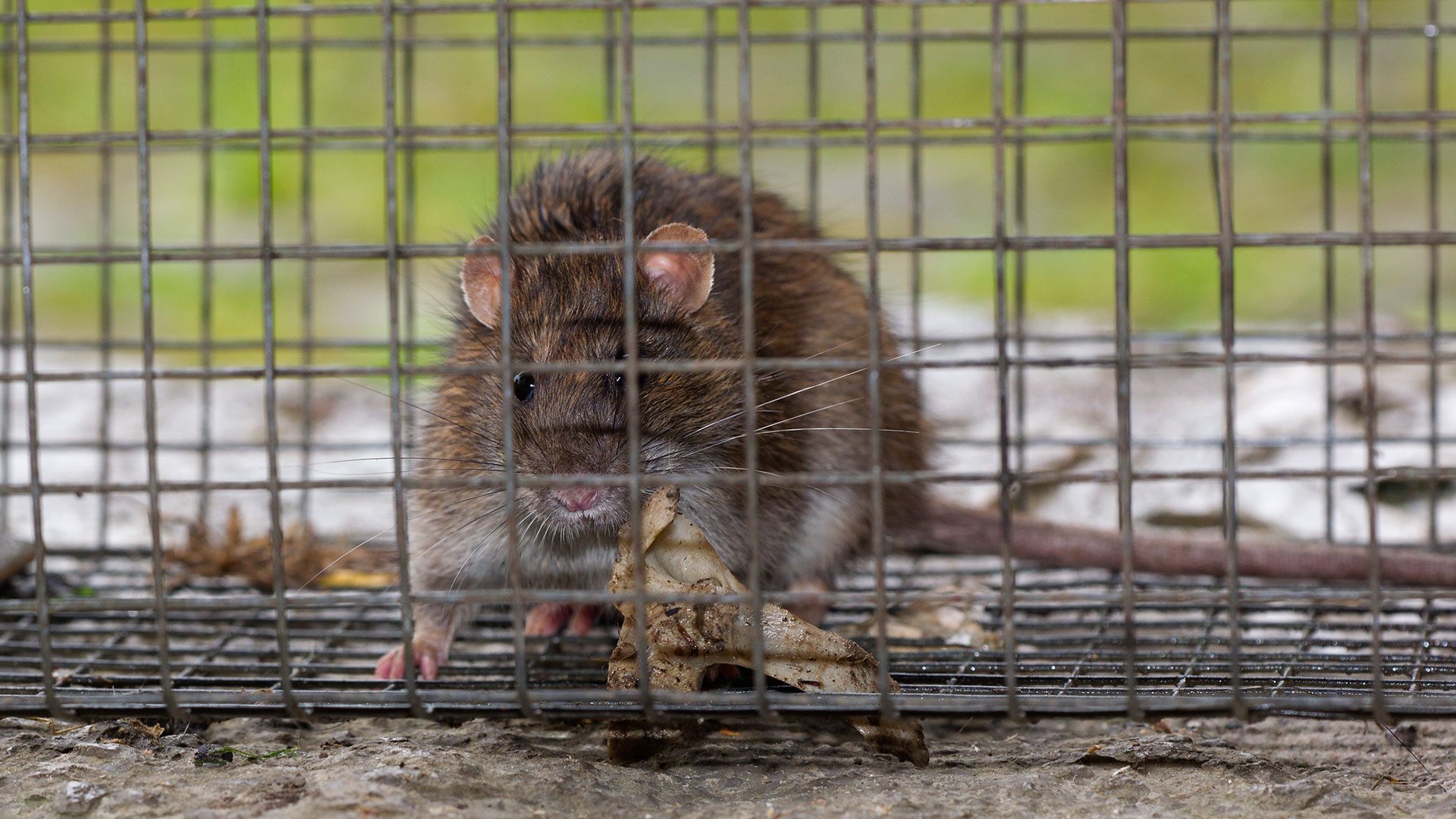 Wanderratte / Rattus norvegicus / Brown rat