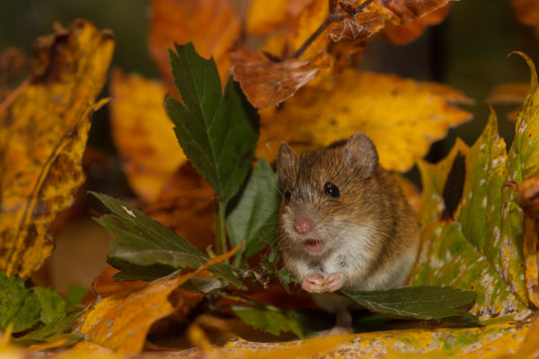Brandmaus / Apodemus agrarius / Striped field mouse