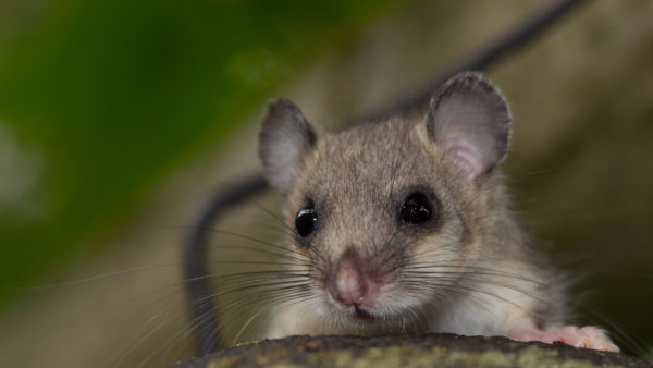 Siebenschlaefer / Glis glis / Fat Dormouse