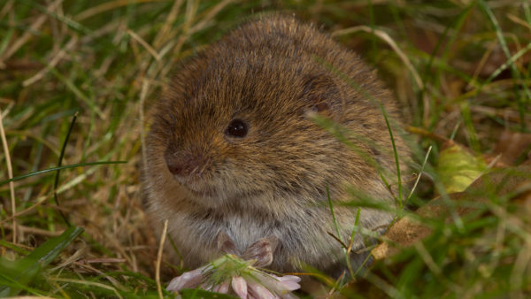 Erdmaus / Microtus agrestis / Field vole