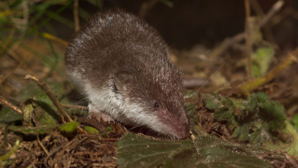 Feldspitzmaus / Crocidura leucodon / Bicolored shrew