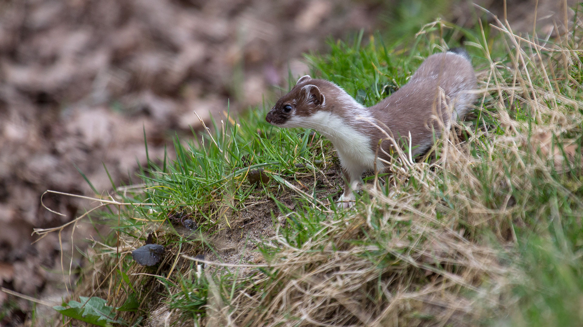 Hermelin / Mustela erminea / Stoat