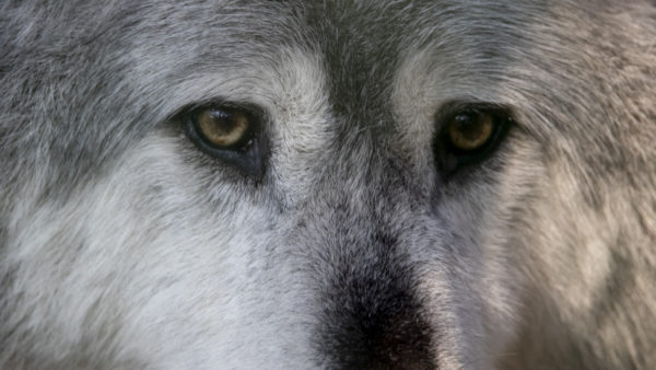 Wolf / Canis lupus