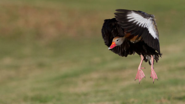 Herbstpfeifgans / Dendrocygna autumnalis / Black bellied whistling Duck