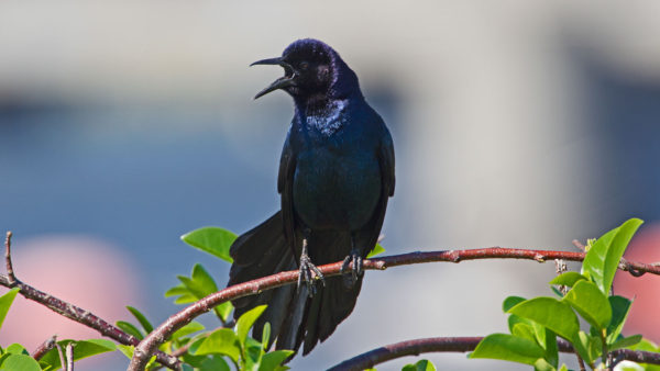 Bootschwanzgrackel / Quiscalus major / Boat tailed Grackle
