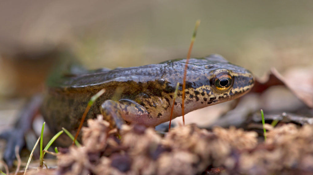 Fadenmolch / Lissotriton helveticus; Syn.: Triturus helveticus / Palmate newt