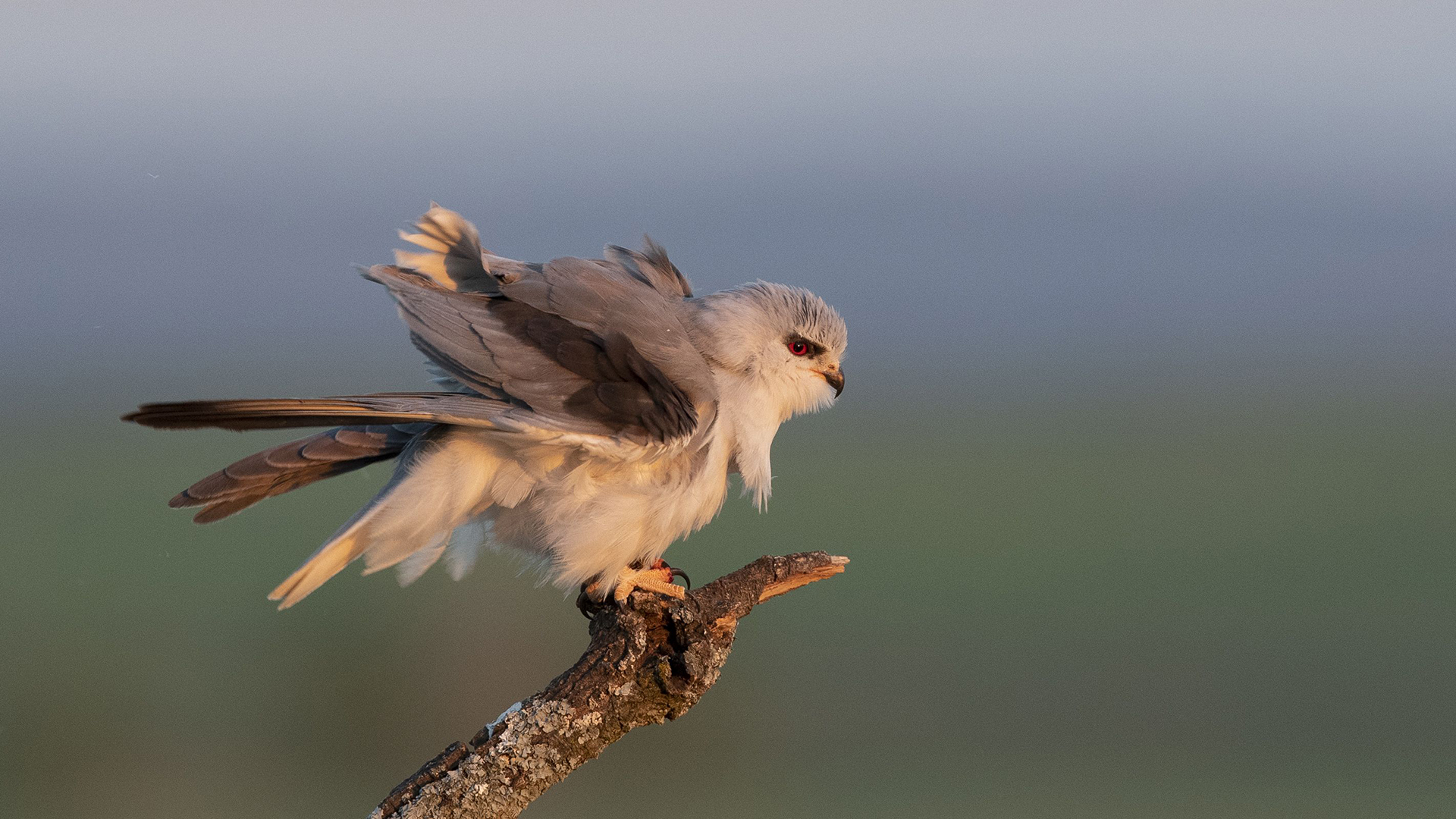 Black winged kite / Gleitaar