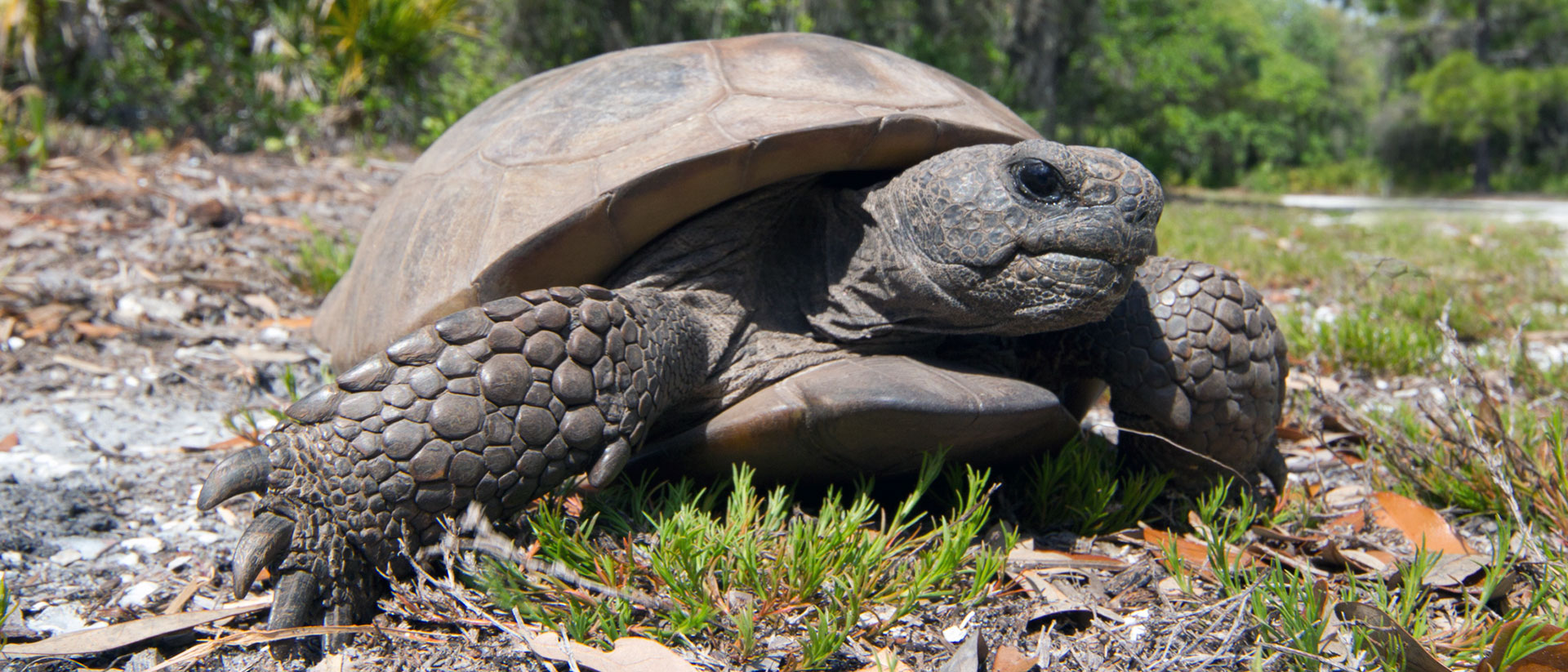 Gopher-Schildkröte / Gopherus polyphemus / Gopher Tortoise