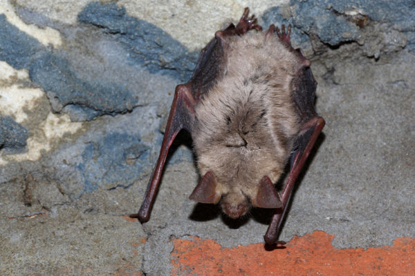 Großes Mausohr / Myotis myotis / Greater mouse-eared bat