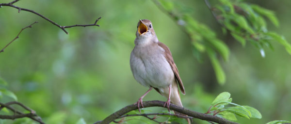 Nachtigall / Luscinia megarhynchos / Nightingale