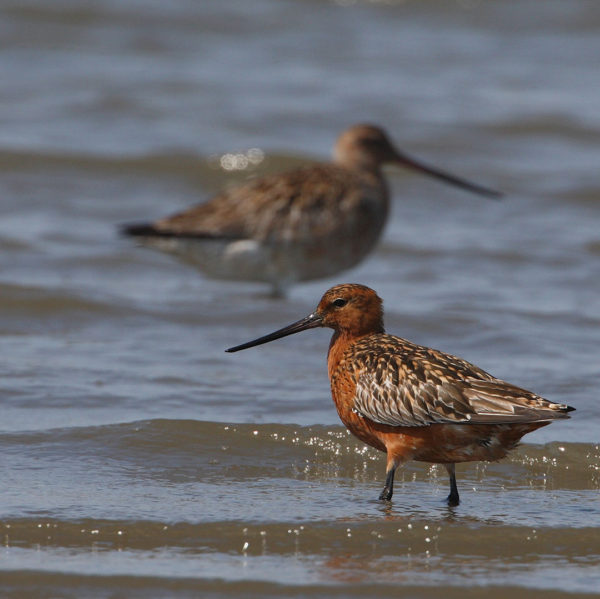 Pfuhlschnepfe / Limosa lapponica / Bar-tailed godwit