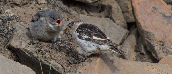 Schneeammer / Plectrophenax nivalis / Snow bunting