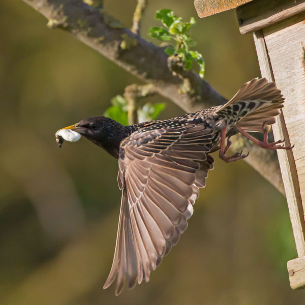Star / Sturnus vulgaris / Common Starling