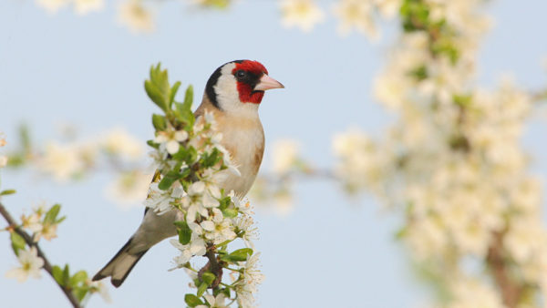 Stieglitz / Carduelis carduelis / Common Goldfinch