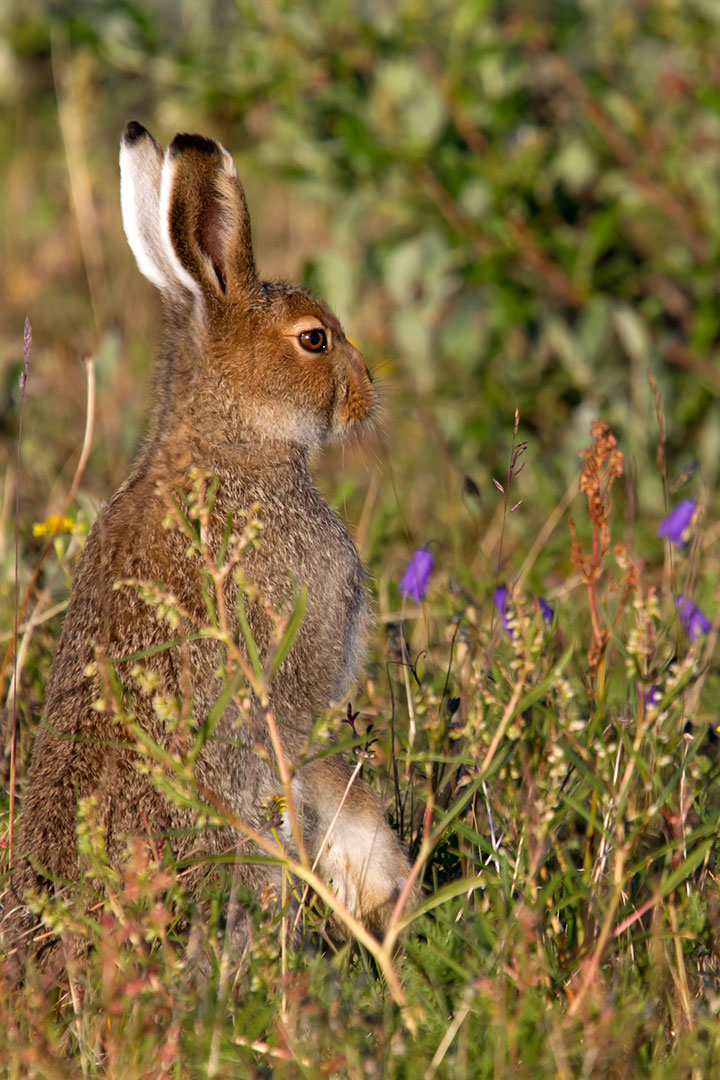 Schneehase / Lepus timidus / Mountain hare