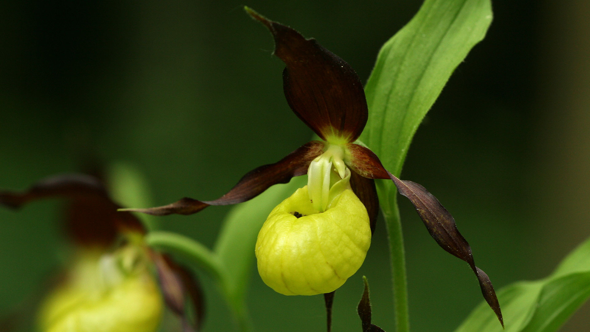 Frauenschuh / Cypripedium calceolus / Lady's-slipper orchid