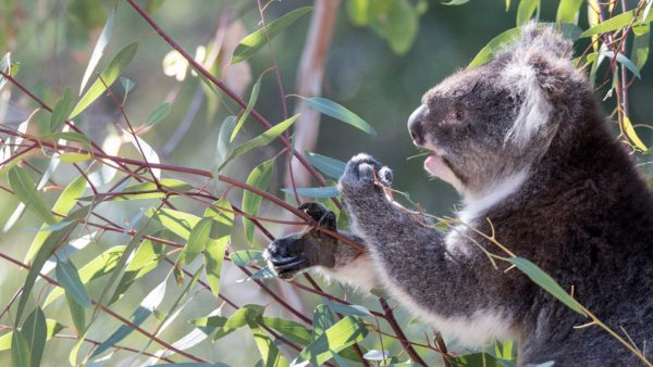 Koala / Yanchep Nationalpark WA