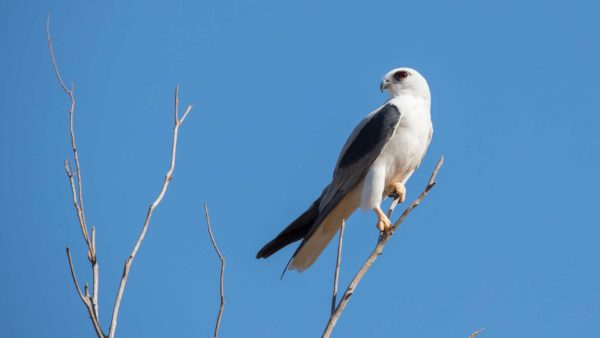 Australian black shouldered kite / Gleitaar