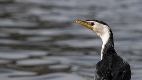 Little Pied Cormorant / Elsterscharbe