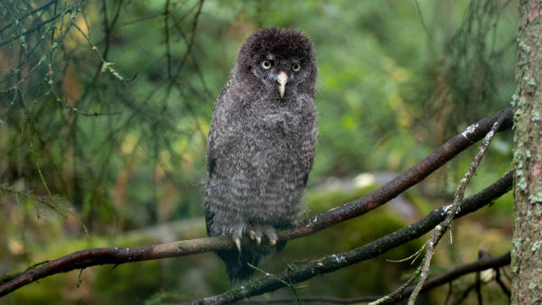 Bartkauz / Great Gray Owl