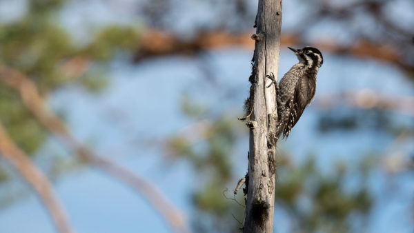 Dreizehenspecht / (Eurasian) three-toed woodpecker