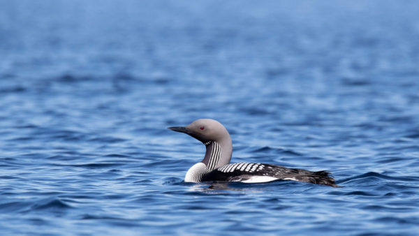 Prachttaucher / Black-throated diver / Arctic loon