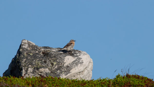 Rotkehlpieper / Red-throated Pipit