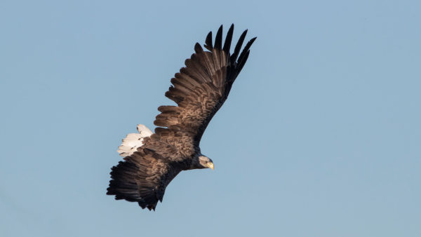 Seeadler / White tailed Eagle